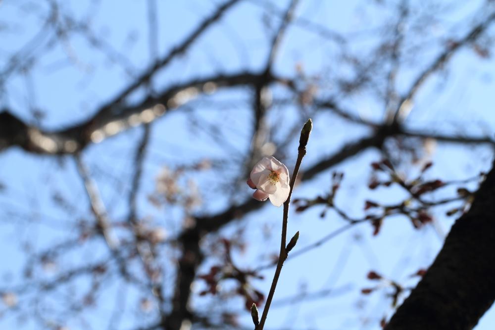 寄って撮れてない桜の写真