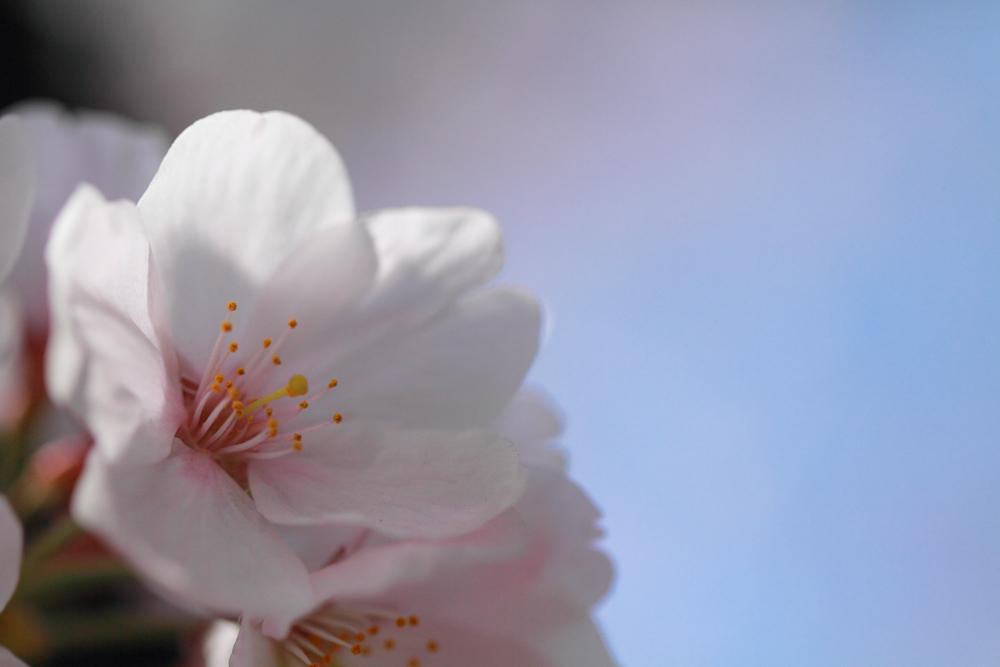 桜をアップで撮影