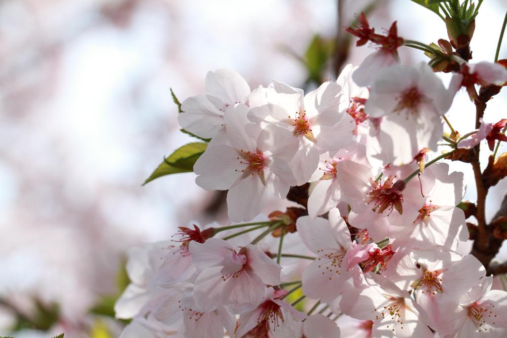 たくさんの桜をアップで撮影