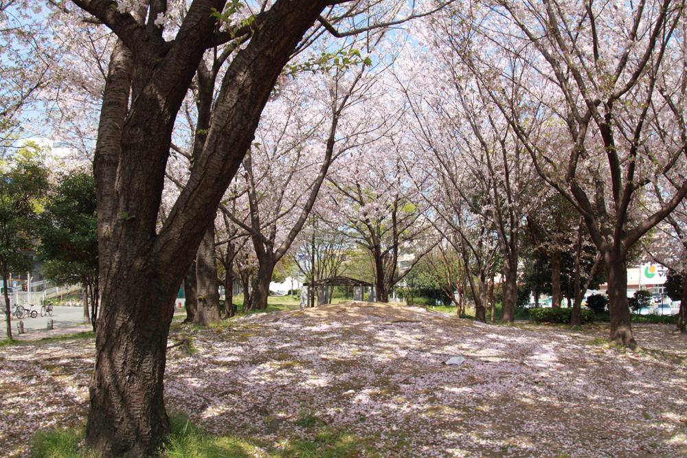 落ちた桜の花びら