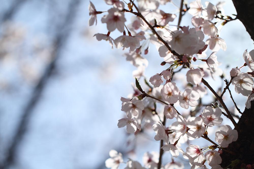桜を逆光で透かして撮る
