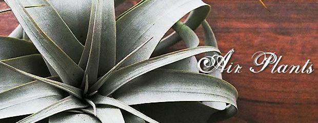 不思議な植物  エアプランツ(チランジア)の育て方