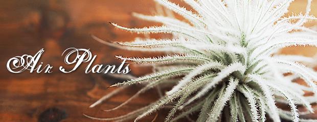 不思議な植物  エアプランツ(チランジア)の育て方 2
